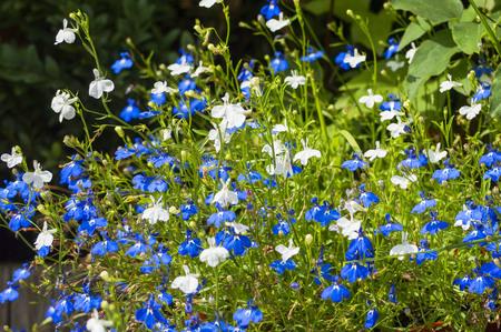 Mooie bloemenachtergrond. De bloemen van Lobelia in een zonnige dag De lente, de zomer of het concept het tuinieren.