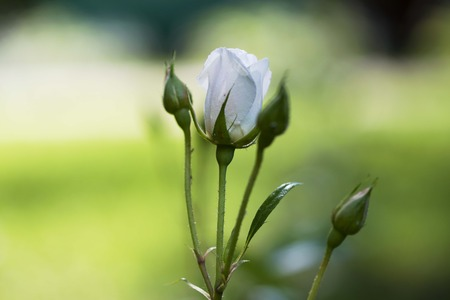 white rose Bud on a background of sunlight closeup Stock Photo