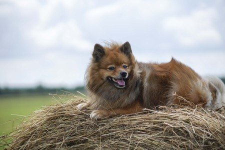 the dog in the hayloft, German Spitz summer day in the field on hay bales resting