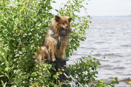 the dog near the water, the German Spitz is sitting in the sun on the background of water green trees