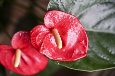 flowers colored red Anthurium and yellow