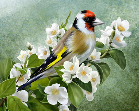 goldfinch: Goldfinch on a branch of a flowering jasmine Stock Photo