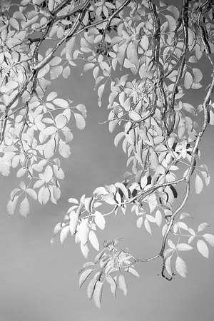 branchleaf