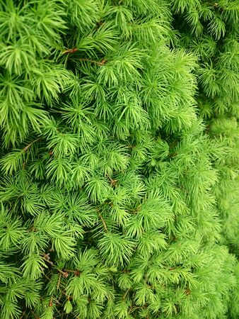 Green texture of coniferous tree with drops after the rain Stock fotó