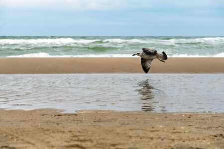 Seagull in fly above the stormy sea with waves breaking  on the wet sandy shore with reflection in the water.