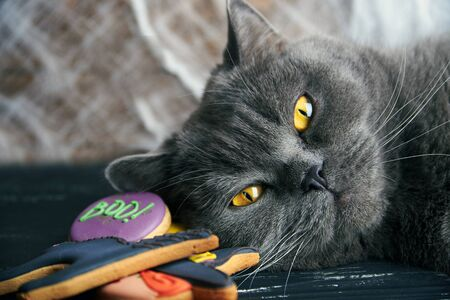 jack: Close view at homemade halloween sweets gingerbread cookies  cat over black wooden table with spiderweb and cat. Focus on a animal