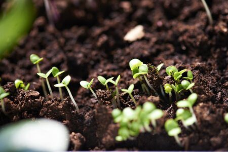 nourishing: young plants of organic salad growing from nourishing soil. Selective focus