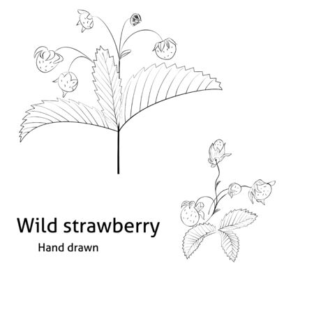 wild strawberry: Hand drawn wild strawberry on white background