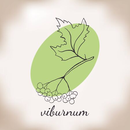 viburnum: Handdrawn vector illustration viburnum. Medicinal berry.For traditional medicine, gardening or cooking design, package, wrapper, label.