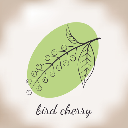 medicate: Handdrawn vector illustration bird cherry. Medicinal berry.For traditional medicine, gardening or cooking design, package, wrapper, label.