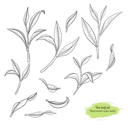 Hand drawn set tea-tree leaves. Traced by hand. Black line botanical drawing.