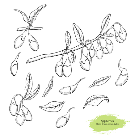 Goji berry hand drawn vector sketch colection: branch, leaf and berry.Healing tea and medical berry. Design for medicine and cosmetic package design. Illustration