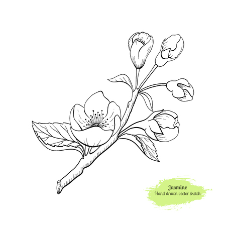 Hand drawnJasmine flower with leaves. Traced by hand. Black line botanical drawing.  イラスト・ベクター素材