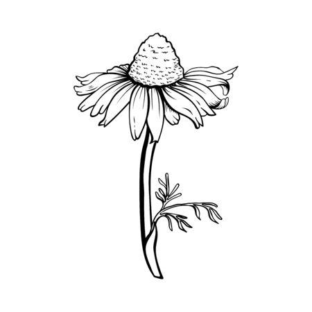 Hand drawn sketch style Chamomile.Floral decorative element Иллюстрация