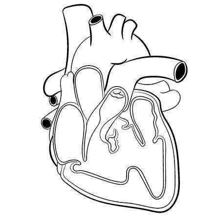 cutaway drawing: Anatomical Human heart hand drawn. Medicine educational Vector illustration.