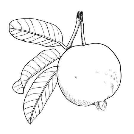 Dibujo a mano de guayaba con hoja. Foto de archivo - 84910321
