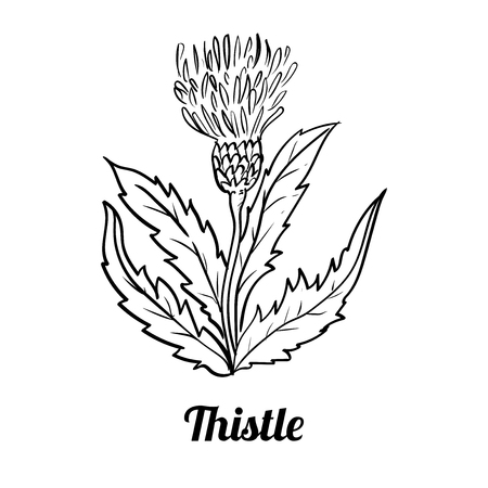 Hand drawing of Thistle isolated on white background. Black and White simple line Vector Illustration for Coloring Book - Line Drawn Vector