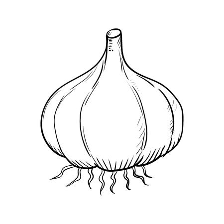 Hand drawn Garlic Isolated on white background. Black and White simple line Vector Illustration for Coloring Book