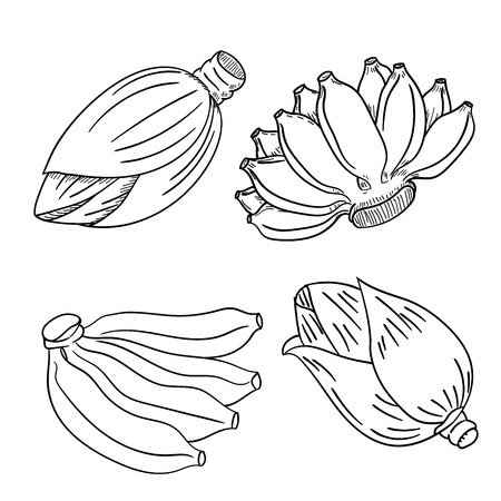 Set of banana fruit and banana flower blossom hand drawn style, for coloring book, education and foot concepts-Vector Illustration