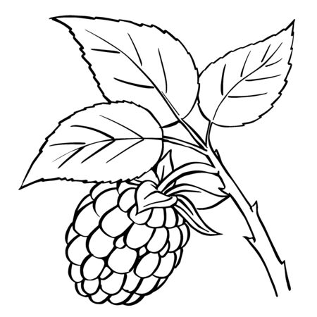 Raspberry and leaves isolated on white background. Berry branch sketch for element for design - hand drawn vector illustration.