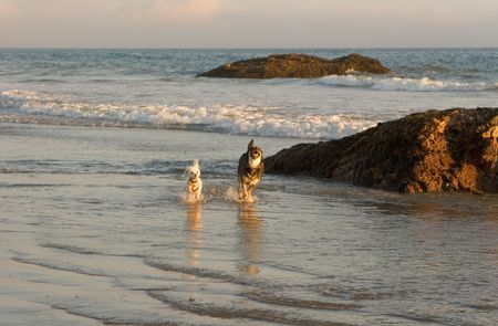 Two dogs running along the beach