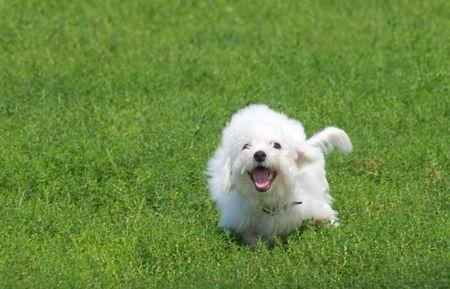 Running Bichon Frise puppy Stock Photo