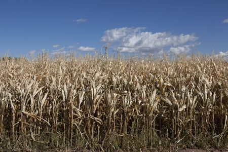 horizontal view of post-season corn in late summer, early autumn. Stock Photo - 5673155