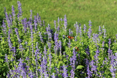 swarm: Butterflies swarm the flowers