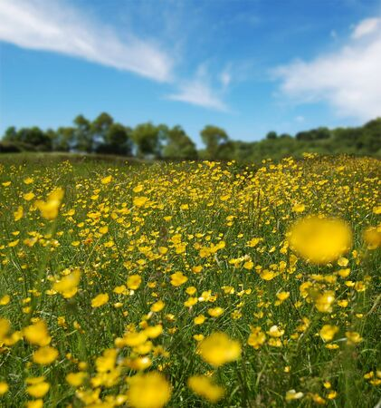 A field full of buttercups shot in summer. photo