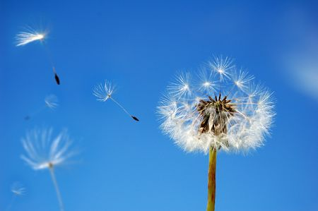 A Dandelion blowing its seed in the wind. Stock Photo