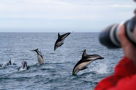 dusky: Dusky Dolphins New Zealand