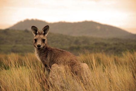 tucker: Wild kangaroo in outback