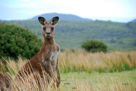 australian outback: Wild kangaroo in outback