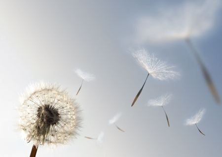 A Dandelion blowing seeds in the wind. Stock Photo - 2835646