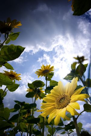 Low angle shot of sunflowers in bloom. Stock Photo - 3461893