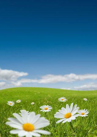 campo de margaritas: Flores de manzanilla en un d�a de veranos encantadora.