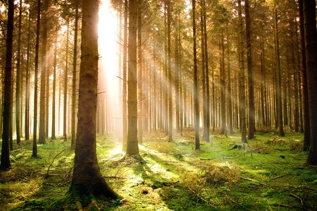 Sun rising over a pine forest. Stock Photo - 3801866
