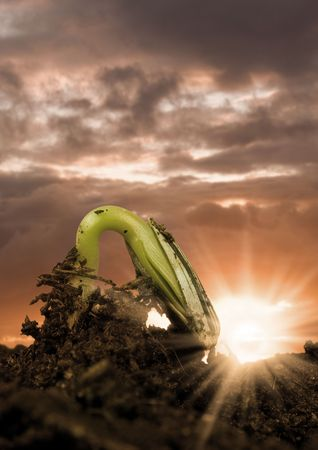 A sunflower seed sprouting up from the ground. photo