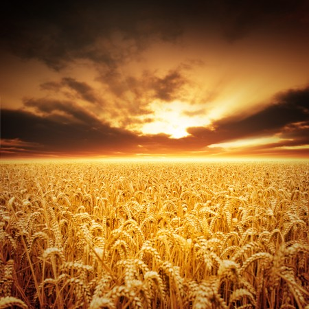 Golden fields of beautiful wheat. Stock Photo