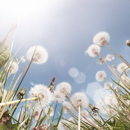 dandelion wind: A Dandelion field in the summer. Low angle shot. Stock Photo