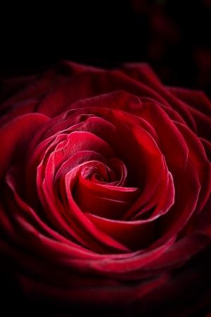 rosas negras: Corazón de la Rose