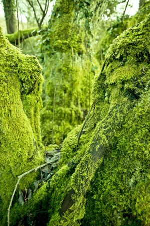 Old trees covered with moss