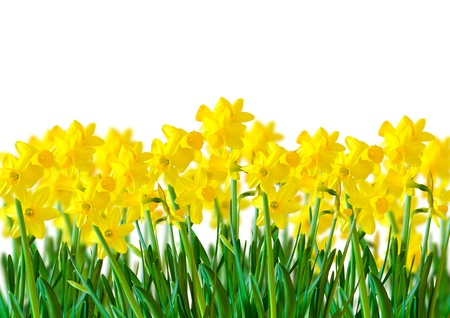 daffodils: A row of bright Yellow Daffodils