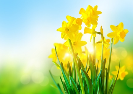 Bright Yellow Daffodils an a sunny day Stock Photo