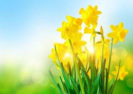 Bright Yellow Daffodils ein a sunny day Standard-Bild