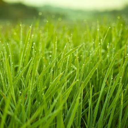 meadow grass: Fresh Grass With Dew Drops