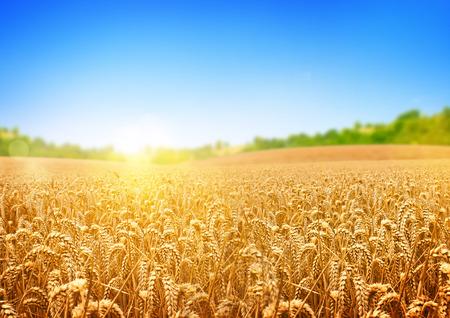 麦畑では、小麦の新鮮な作物。