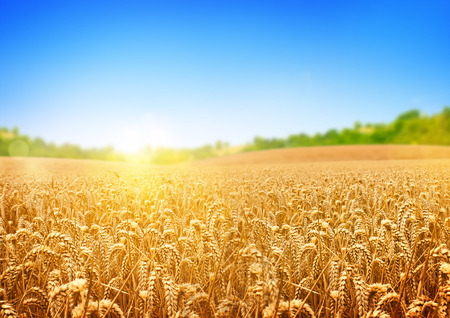 harvest: A wheat field, fresh crop of wheat.