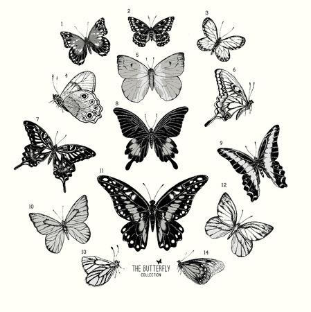 taxidermy: Large Collection of Butterflies, hand drawn set isolated.Vector illustration Illustration