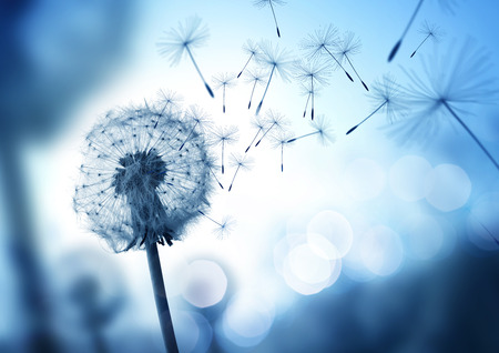 Dandelion seeds blowing in the wind across a cool field background, conceptual image meaning change, growth, movement and direction. Stock Photo